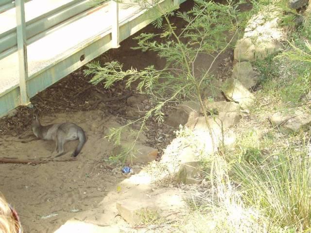 horkem znavený klokan pod mostem