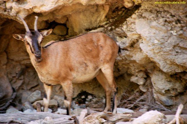Kri-kri (koza bezoárová) - Samaria, Kréta