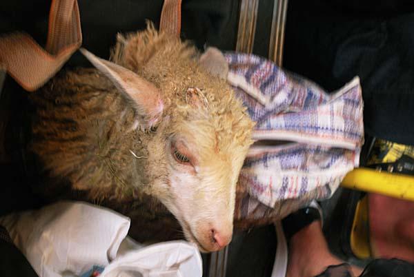Ovce v autobuse do Suchumi