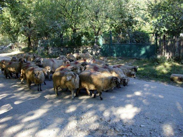 Stádo ovcí v obci Cerna Sat - Rumunsko