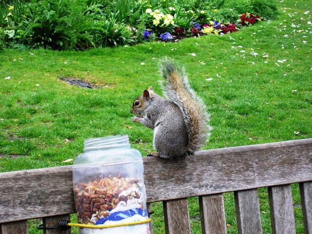 Veverka v parku St James's Park