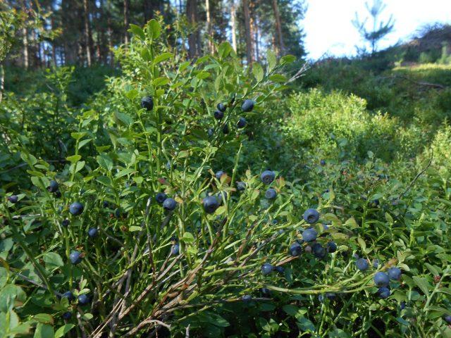 Lesy v okolí Zderazu jsou plné borůvek