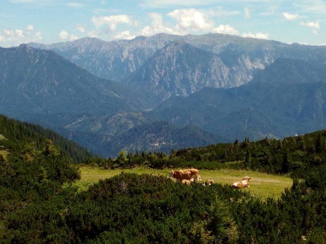 Stádo krav pasoucí se na úbočí Hochkaru